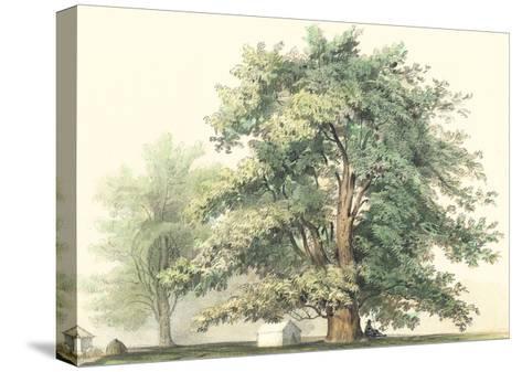 Majestic Oak--Stretched Canvas Print