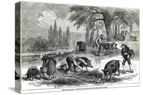 Illustration of Pigs Truffle Hunting--Stretched Canvas Print