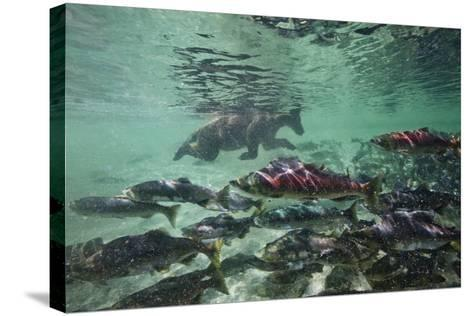 Underwater Brown Bear, Katmai National Park, Alaska-Paul Souders-Stretched Canvas Print
