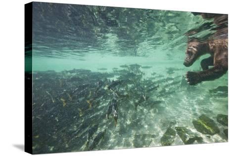Underwater Brown Bear, Katmai National Park, Alaska-Paul Souders-Stretched Canvas Print
