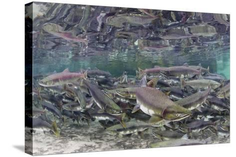 Underwater Spawning Salmon, Alaska-Paul Souders-Stretched Canvas Print