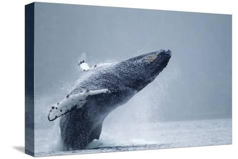 Breaching Humpback Whale, Alaska-Paul Souders-Stretched Canvas Print