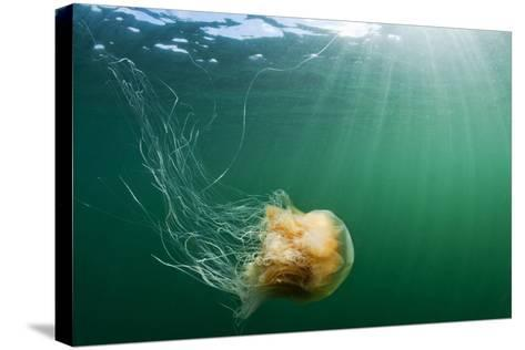 Lion's Mane Jellyfish, Alaska-Paul Souders-Stretched Canvas Print