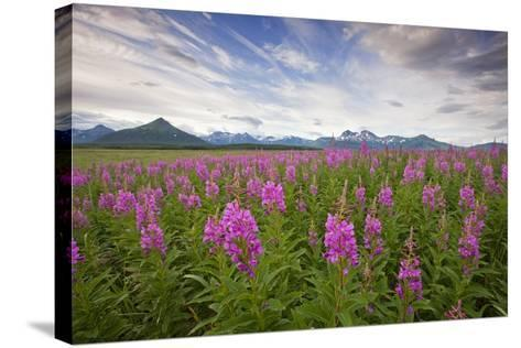 Fireweed in Meadow at Hallo Bay in Katmai National Park-Paul Souders-Stretched Canvas Print