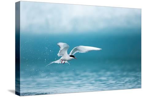 Arctic Tern Fishing in Jokulsarlon Lake-Paul Souders-Stretched Canvas Print