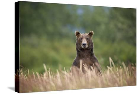 Grizzly Bear Standing over Tall Grass at Kukak Bay-Paul Souders-Stretched Canvas Print