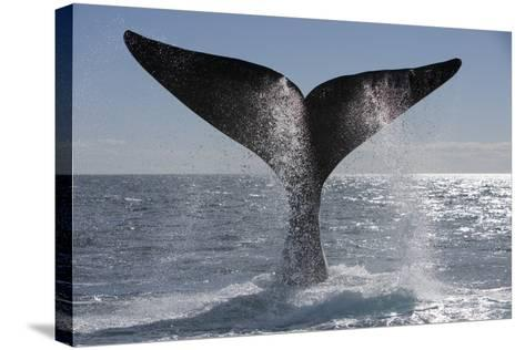 Southern Right Whale Off Peninsula Valdes, Patagonia-Paul Souders-Stretched Canvas Print