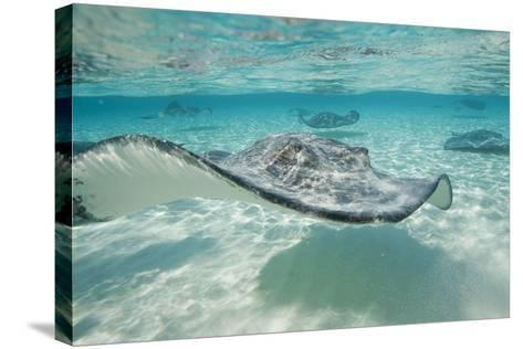 Southern Stingrays at Stingray City-Paul Souders-Stretched Canvas Print
