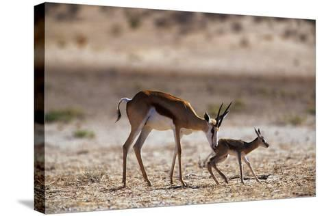 Springbok Mother with Newborn Calf-Paul Souders-Stretched Canvas Print