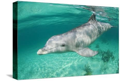 Bottlenosed Dolphin at UNEXSO Dive Site-Paul Souders-Stretched Canvas Print