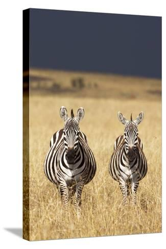 Burchell's Zebras on Savanna Below Stormy Sky-Paul Souders-Stretched Canvas Print