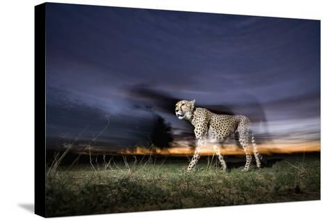 Cheetah at Dusk-Paul Souders-Stretched Canvas Print