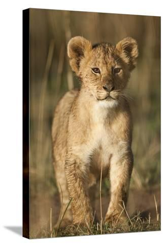 Lion Cub on Savanna in Masai Mara National Reserve-Paul Souders-Stretched Canvas Print