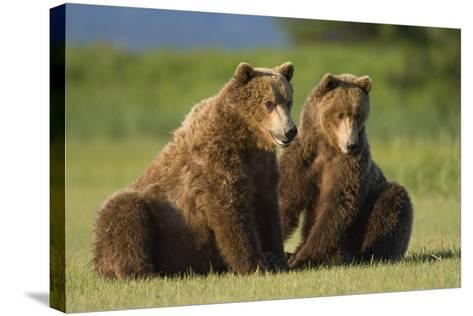Two Brown Bears Sitting in Meadow at Hallo Bay-Paul Souders-Stretched Canvas Print