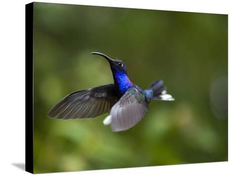 Violet Sabrewing Hummingbird in Flight-Paul Souders-Stretched Canvas Print