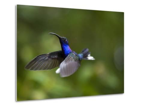 Violet Sabrewing Hummingbird in Flight-Paul Souders-Metal Print