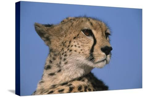 Close-Up of Cheetah-Paul Souders-Stretched Canvas Print