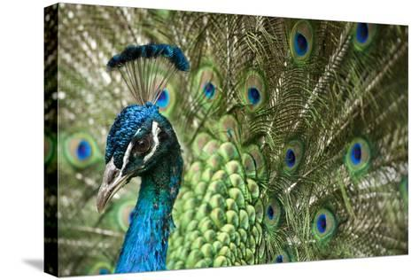 Male Indian Peacock in Costa Rica-Paul Souders-Stretched Canvas Print