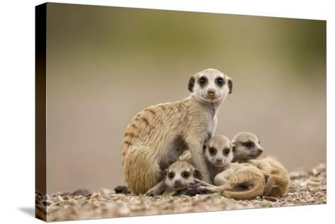 Meerkat with Pups-Paul Souders-Stretched Canvas Print