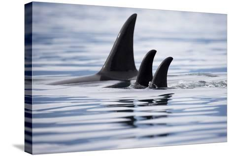 Pod of Orca Whales in Stephens Passage-Paul Souders-Stretched Canvas Print