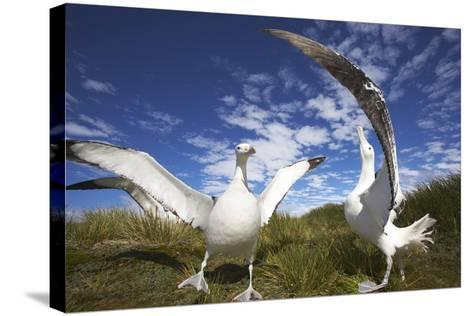 Wandering Albatrosses on South Georgia Island-Paul Souders-Stretched Canvas Print