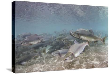 Spawning Salmon at Kinak Bay in Katmai National Park-Paul Souders-Stretched Canvas Print