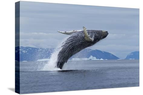 Humpback Whale Calf Breach in Disko Bay in Greenland-Paul Souders-Stretched Canvas Print