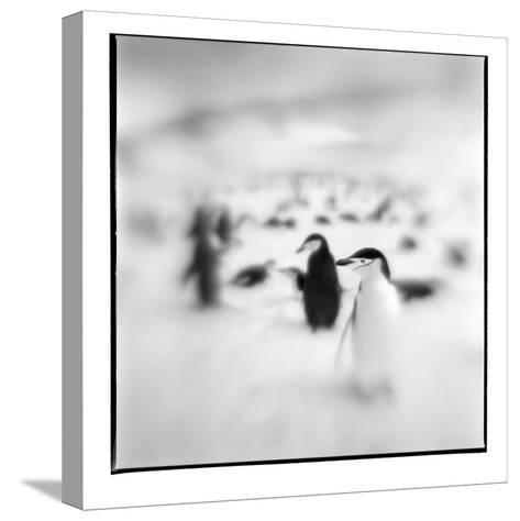Chinstrap Penguins, Antarctica-Paul Souders-Stretched Canvas Print