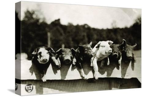 Row of Pigs Resting on Fence--Stretched Canvas Print