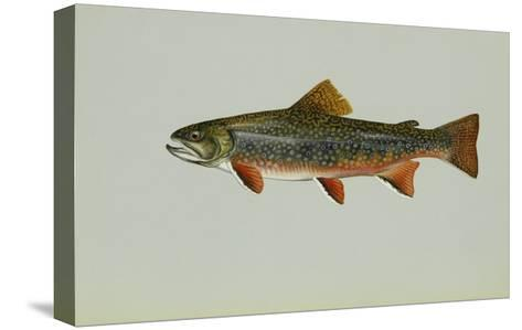 Brook Trout--Stretched Canvas Print