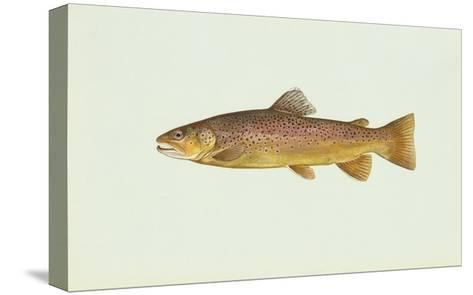 Brown Trout--Stretched Canvas Print