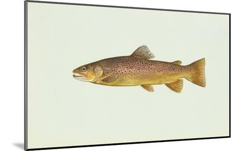 Brown Trout--Mounted Giclee Print