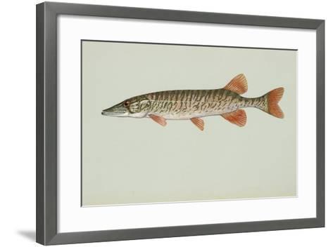 Redfin Pickerel--Framed Art Print