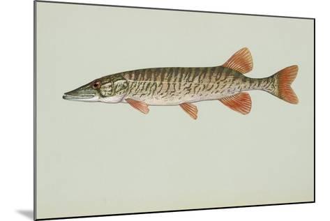 Redfin Pickerel--Mounted Giclee Print