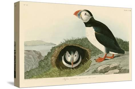 Puffin-John James Audubon-Stretched Canvas Print