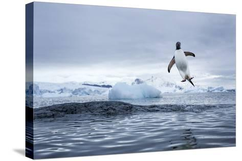 Gentoo Penguin on Cuverville Island, Antarctica-Paul Souders-Stretched Canvas Print