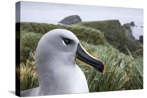 Gray-Headed Albatross on Diego Ramirez Islands, Chile-Paul Souders-Stretched Canvas Print