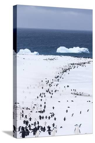 Chinstrap Penguins in Snow, Deception Island, Antarctica-Paul Souders-Stretched Canvas Print