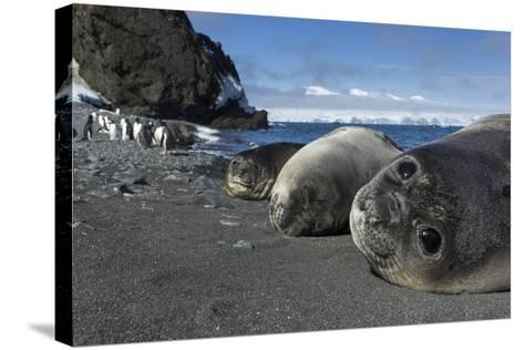 Weddell Seals on Livingstone Island, Antarctica-Paul Souders-Stretched Canvas Print