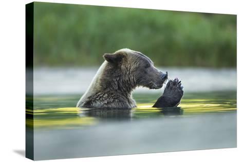 Brown Bear and Salmon, Katmai National Park, Alaska-Paul Souders-Stretched Canvas Print