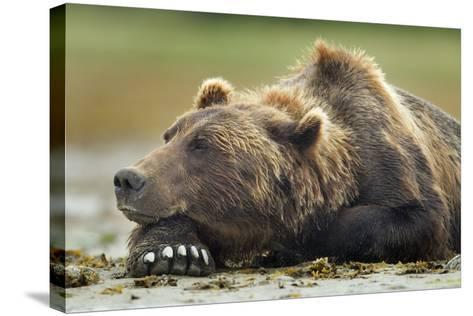 Brown Bear, Katmai National Park, Alaska-Paul Souders-Stretched Canvas Print
