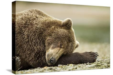 Sleeping Brown Bear, Katmai National Park, Alaska-Paul Souders-Stretched Canvas Print