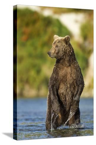 Brown Bear, Katmai National Park, Alaska-Paul Souders-Stretched Canvas Print