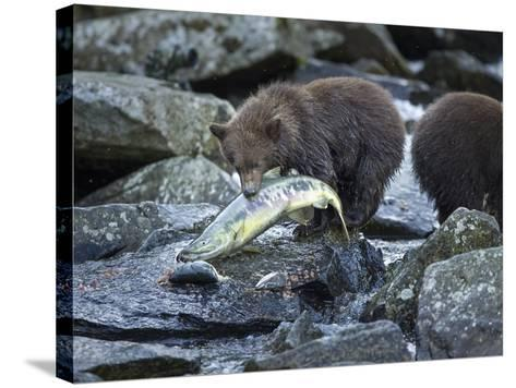 Brown Bear Cub and Huge Salmon, Katmai National Park, Alaska-Paul Souders-Stretched Canvas Print