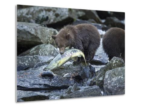 Brown Bear Cub and Huge Salmon, Katmai National Park, Alaska-Paul Souders-Metal Print
