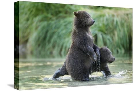 Brown Bear Cubs, Katmai National Park, Alaska-Paul Souders-Stretched Canvas Print