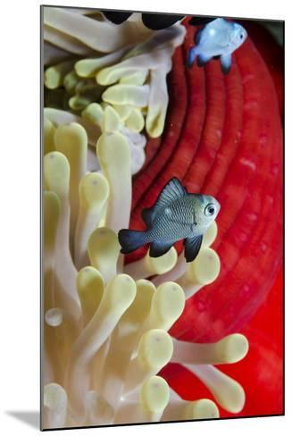 Three-Spot Damsel Fish (Dascyllus Trimaculatus)-Mark Doherty-Mounted Photographic Print