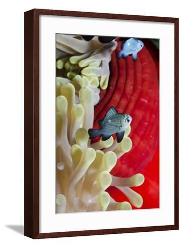 Three-Spot Damsel Fish (Dascyllus Trimaculatus)-Mark Doherty-Framed Art Print