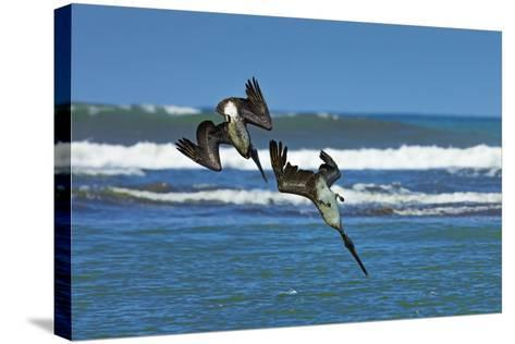 Pair of Brown Pelicans (Pelecanus Occidentalis) Dive for Fish at the Nosara River Mouth-Rob Francis-Stretched Canvas Print