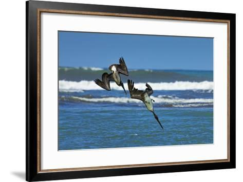 Pair of Brown Pelicans (Pelecanus Occidentalis) Dive for Fish at the Nosara River Mouth-Rob Francis-Framed Art Print